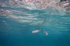 Underwater blue background water surface and fishes. Summer Underwater royalty free stock images