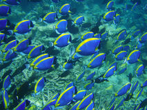 Underwater: blue fish. Deep water of Indian ocean, Maldives Stock Photos
