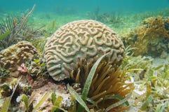 Underwater boulder brain coral Colpophyllia natans stock images