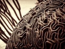 Underwater Brain Coral. Underwater image of brain coral features sharp but very organic patterns Stock Image