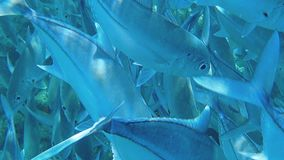 The underwater camera passes right through a large flock of fish. Very close-up of underwater inhabitants. stock video footage
