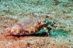 Underwater chamativo dos chocos coloridos do calamar Imagem de Stock