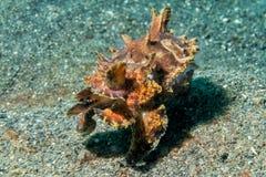 Underwater chamativo dos chocos coloridos do calamar Foto de Stock Royalty Free