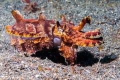 Underwater chamativo dos chocos coloridos do calamar Imagem de Stock Royalty Free