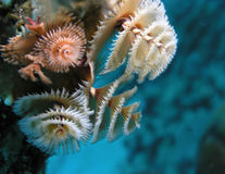 Underwater Christmas Tree Worms Growing on Coral Reef Stock Images