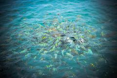 Underwater close up of hungry striped fish eating Stock Photos