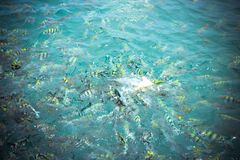 Underwater close up of hungry striped fish eating Royalty Free Stock Photography