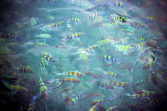 Underwater close up of hungry striped fish eating Royalty Free Stock Photos