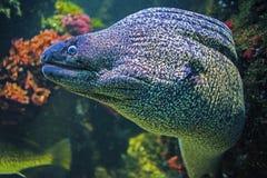 Underwater portrait of muraena fish. Underwater close up portrait of muraena fish royalty free stock image