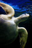 Underwater close up view of sea turtle. A close up underwater view of a sea turtle, with the eye looks straight at the camera Royalty Free Stock Photo