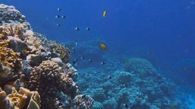 Underwater Colorful Tropical Fishes and Beautiful Corals stock video footage