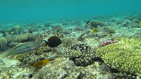 Underwater colorful tropical fishes and beautiful corals. Picture of a wonderful and beautiful underwater colorful fishes and corals in the tropical reef of stock video footage