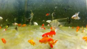Underwater colorful tropical fishes. POV - Underwater gold fish. Gold fish in underwater shot, colorful tropical fishes. POV stock video