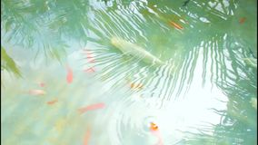 Underwater colorful tropical gold fishes. Top angle shot. Gold fish in underwater shot, colorful tropical fishes. Pov stock footage