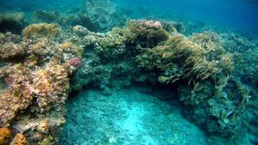 Colorfull Coral reef in Red Sea. Underwater colorfull Coral coral reef in the Red Sea Royalty Free Stock Images