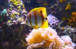 Underwater com peixes e coral Imagem de Stock