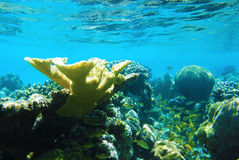 Underwater Coral. A school of yellow fish stayed safely next to this beautiful coral Royalty Free Stock Photo
