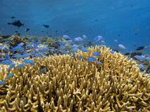 Underwater coral colony on Pulau Moyo Reef, Flores Sea Indonesia stock image