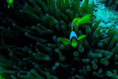 Underwater coral garden with anemone and a pair of yellow clownfish. Underwater photo coral garden with anemone and a pair of yellow clownfish stock images