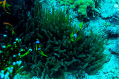 Underwater coral garden with anemone and a pair of yellow clownfish. Underwater photo coral garden with anemone and a pair of yellow clownfish stock image