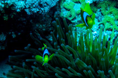Underwater coral garden with anemone and a pair of yellow clownfish. Underwater photo coral garden with anemone and a pair of yellow clownfish stock photography