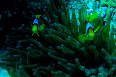 Underwater coral garden with anemone and a pair of yellow clownfish. Underwater photo coral garden with anemone and a pair of yellow clownfish royalty free stock photography