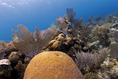 Underwater coral garden, Cayos Cochinos, Honduras Royalty Free Stock Photography