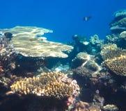 Underwater Coral Garden Stock Image