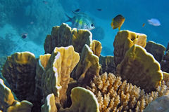 Underwater Coral gardens. Coral gardens and small Damsel fish Stock Image