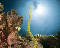 Underwater coral maldives. Maldives corals 2015 by walter schmit royalty free stock photography