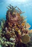 Underwater coral reef. Off the coast of Roatan Honduras Jackson hole Royalty Free Stock Photos