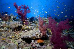 Underwater coral reef. An underwater coral reef with lots of fish swimming around through the seaweed Stock Image