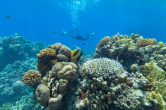 Underwater coral reef with cameraman Royalty Free Stock Image