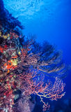 Underwater coral reef Royalty Free Stock Image
