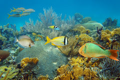 Underwater coral reef with colorful tropical fish. Underwater landscape in an healthy coral reef with colorful tropical fish Stock Image