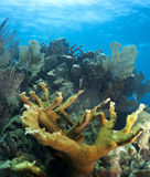 Underwater coral reef elkhorn coral Royalty Free Stock Images