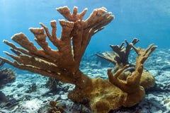Underwater coral reef Elkhorn coral (Acropora palmata). Coral reef Elkhorn coral (Acropora palmata) on coral reef in Bonaire stock images