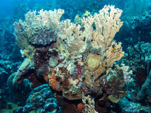 Underwater coral reef fire corals Stock Photo