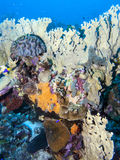Underwater coral reef fire corals Royalty Free Stock Photo