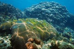Underwater coral reef with fish in Caribbean sea Royalty Free Stock Images