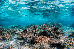 Underwater coral reef and fish in Indian Ocean, Maldives. Royalty Free Stock Images