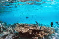 Underwater coral reef and fish in Indian Ocean, Maldives. Royalty Free Stock Image