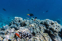 Underwater coral reef and fish in Indian Ocean, Maldives. stock photo
