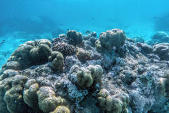 Underwater coral reef and fish in Indian Ocean, Maldives. royalty free stock photography
