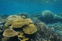 Underwater coral reef with fish New Caledonia. Underwater coral reef with scissortail sergeant fish, New Caledonia, south Pacific ocean stock images