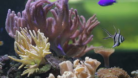 Underwater coral reef and fishes. Close up stock video footage