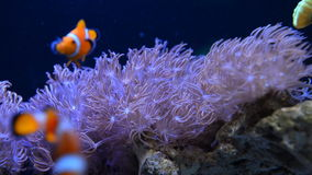 Underwater coral reef and fishes. In home aquarium stock video