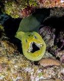 Underwater coral reef Green moray eel Stock Photos