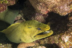 Underwater coral reef Green moray eel Royalty Free Stock Photography