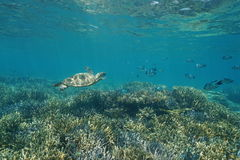 Underwater coral reef green sea turtle and fish Stock Photos